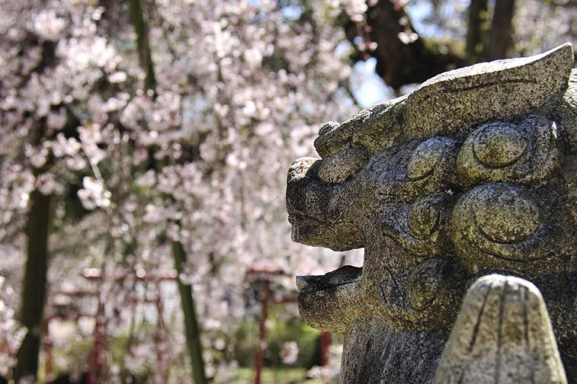 Ogawasuwa Shrine's Weeping Cherry Blossom