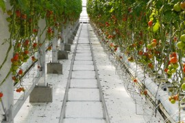 Tomato Heaven in Wonder Farm, Iwaki