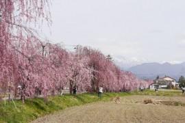 Nicchu Line Weeping Cherry Blossom