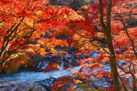 Autumn Leaves in Fukushima