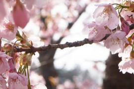 Hanamiyama in Full Bloom