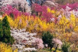 Fukushima's Top Cherry Blossom Spots