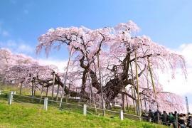 在福岛巡游日本 屈指可数的樱花