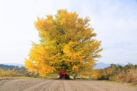5 Ginkgo Tree Spots To Visit In Fukushima This Autumn