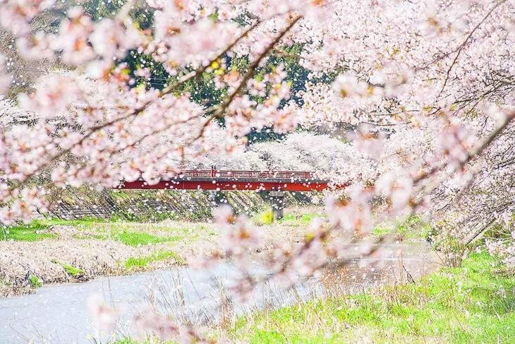 在樱花下享受宴会