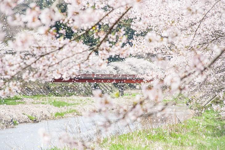 福岛的顶级樱花景点