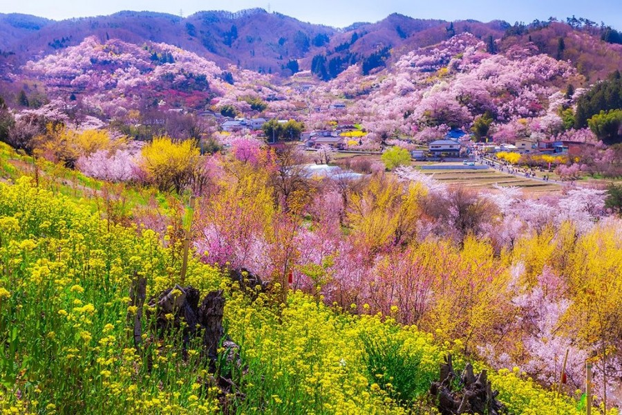 A Day of Cherry Blossoms