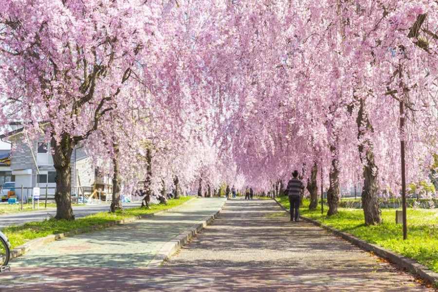 Cherry Blossoms and Hot Spring Relaxation Tour