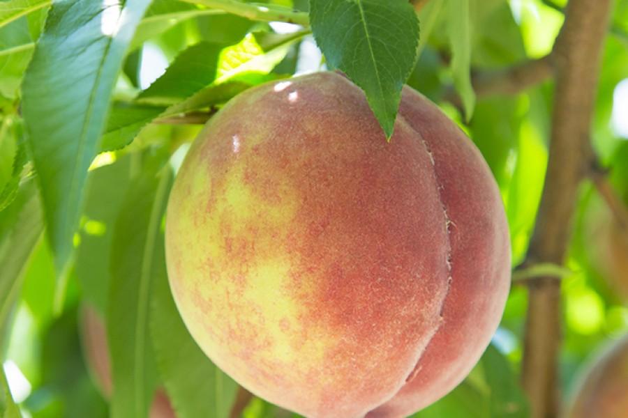 Refreshing Fruits and Waters of Fukushima