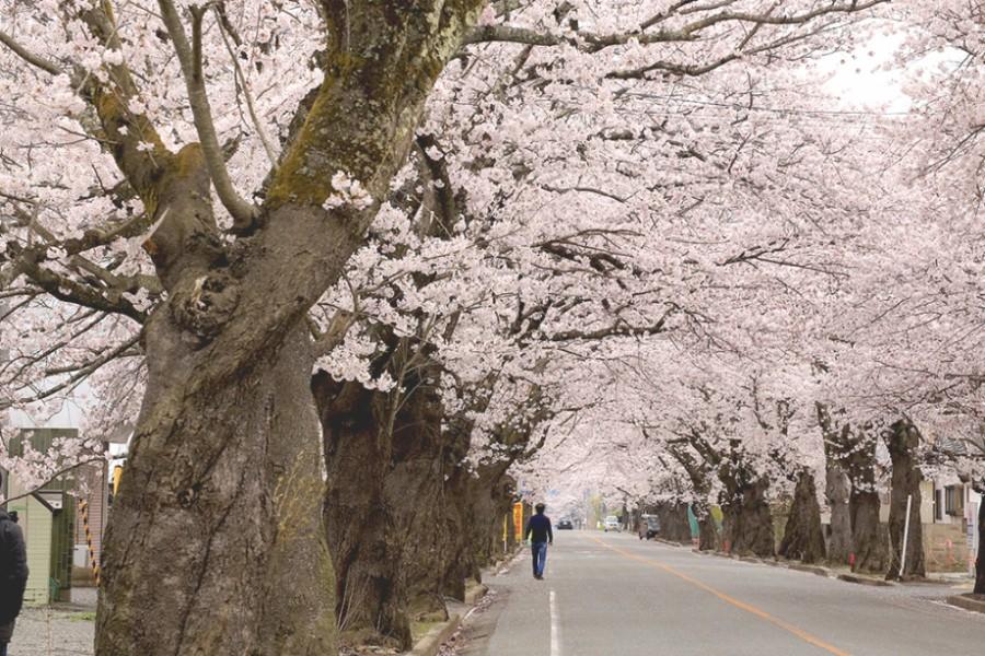 요노모리(夜ノ森) 지구 벚꽃 터널