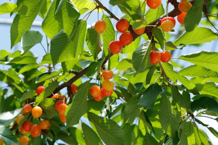 Azuma Orchard