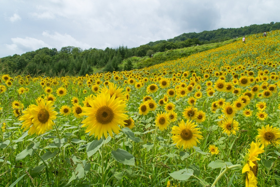 Sannokura Plateau Sunflower Field