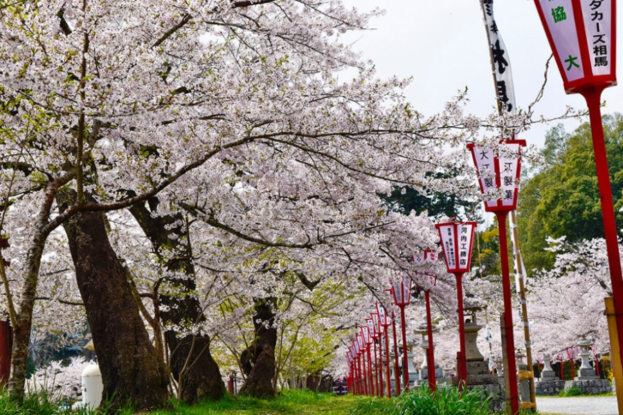 Cherry Blossoms in Baryo Park