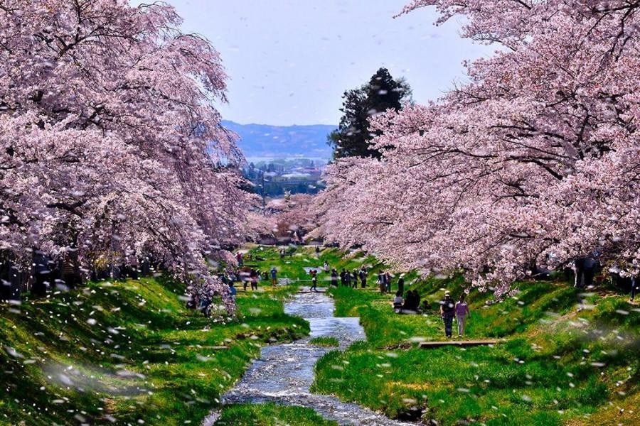 观音寺川的林荫樱花