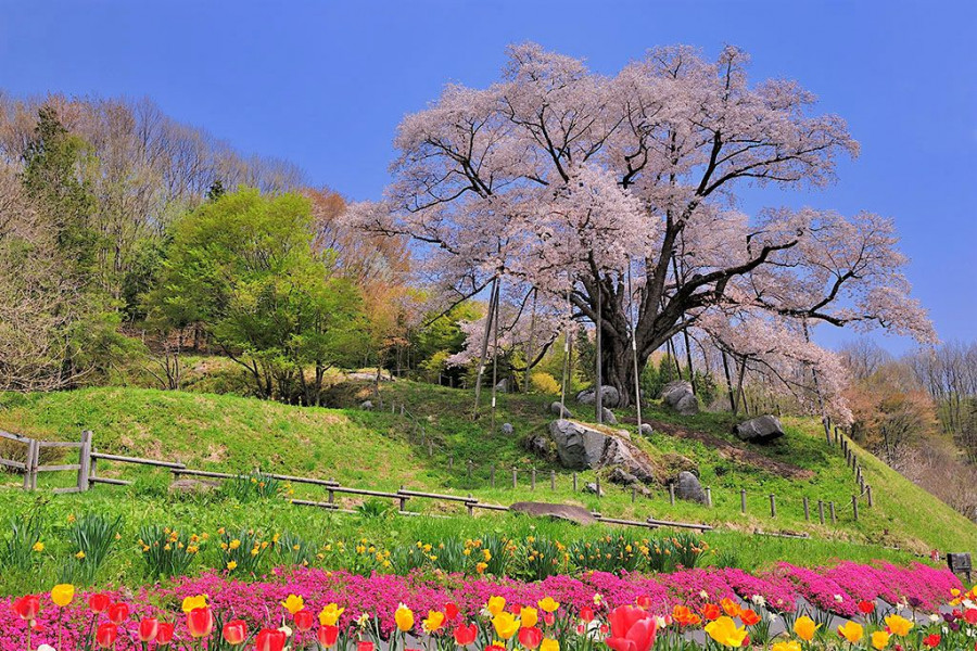 Koshidai no Sakura (The Koshidai Cherry Tree)