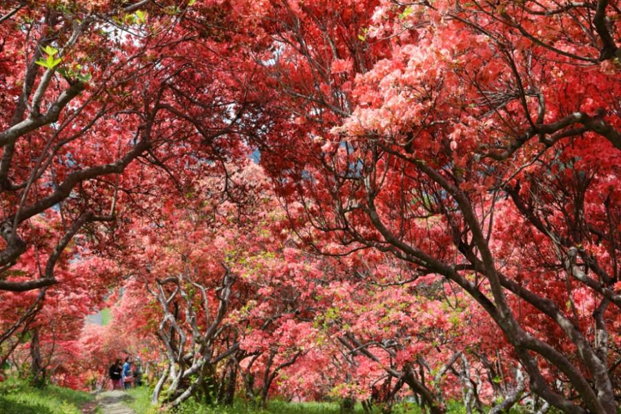 Furoyama Park Yama-tsutsuji (Mountain Rhododendron)