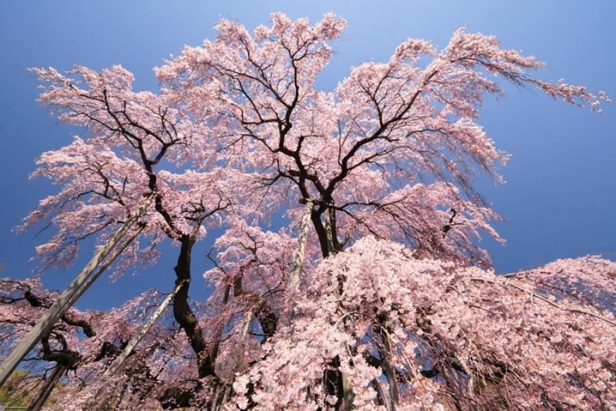 미하루 타키자쿠라(폭포 벚꽃)