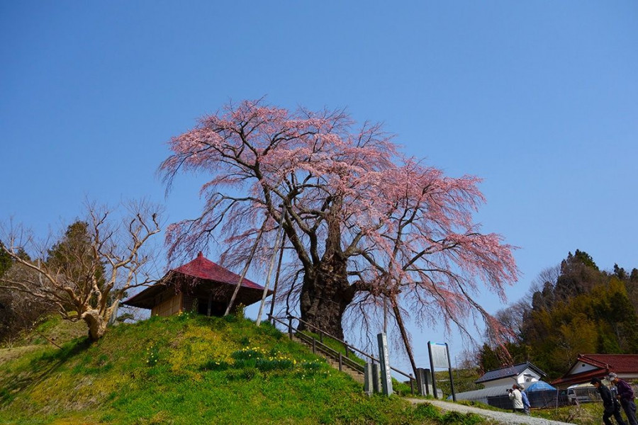 Fudo Cherry Blossoms of Ageishi