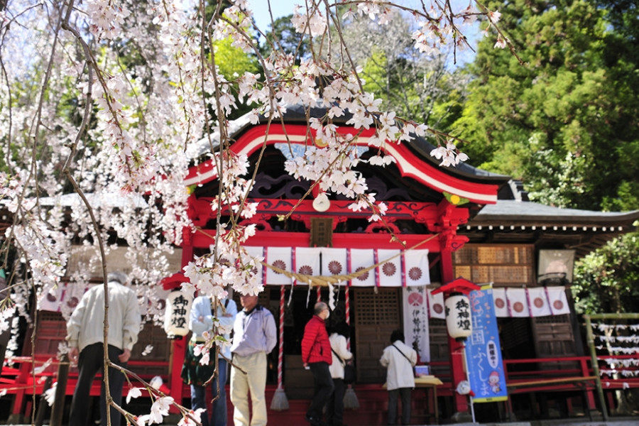 Ogawasuwa Shrine's Weeping Cherry Blossom