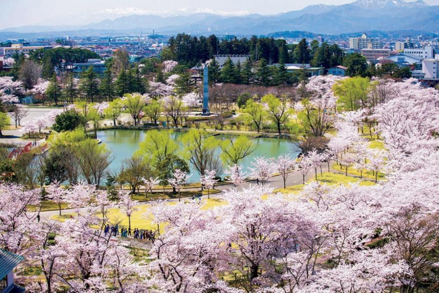 카이세이잔 공원의 벚꽃