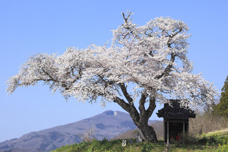 오자와 벚꽃