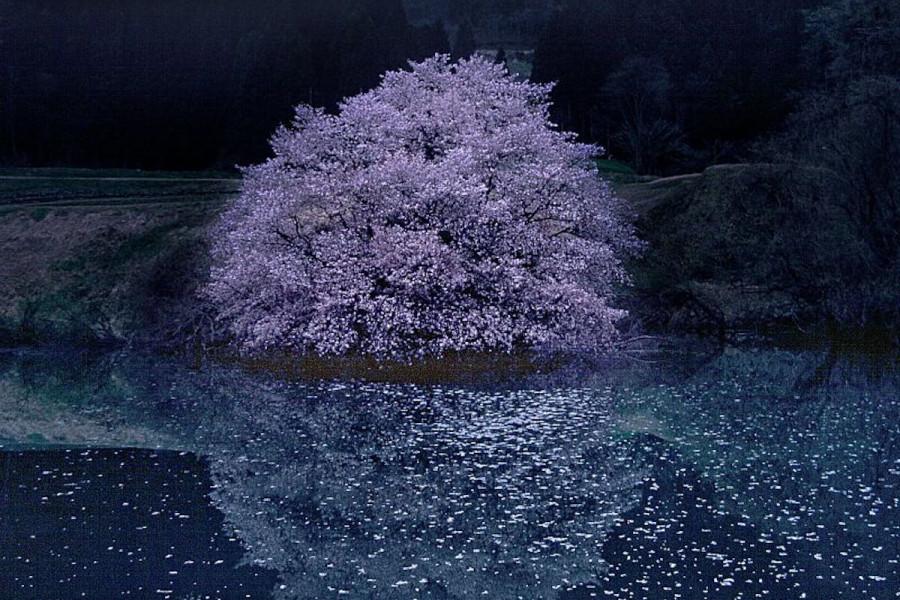 거울 벚나무