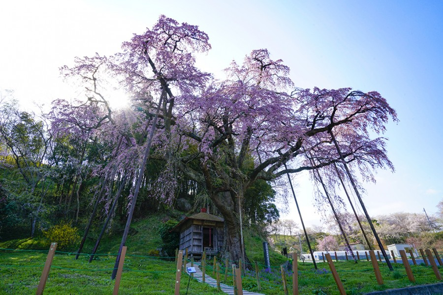 Benishidare Jizo-zakura (Weeping Cherry Tree)