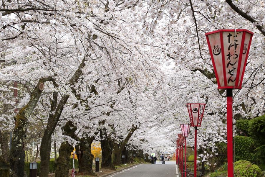 岳温泉街的樱花坡